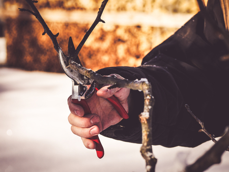 image shows a hand holding a pruning shear to cut a apple tree branch Imagens