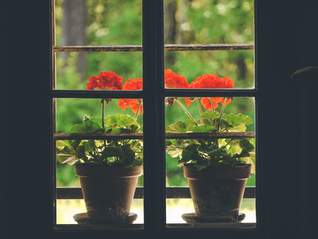 image shows two pelargoniums in pot close to window, photo taken inside the house through the window