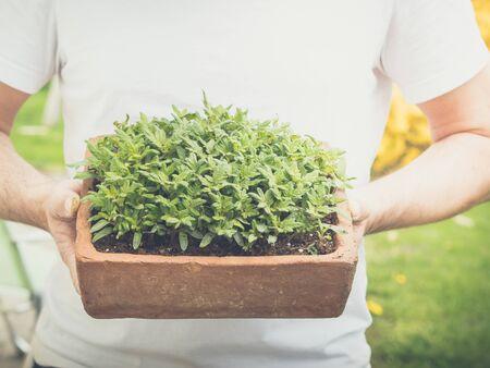 Zwei Hände, die eine Saatschale mit jungen wachsenden Tomatenpflanzen halten