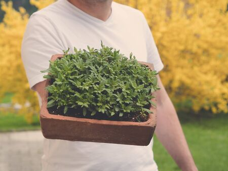 Shows a man holding young tomato plants growing in seed pan made of brick