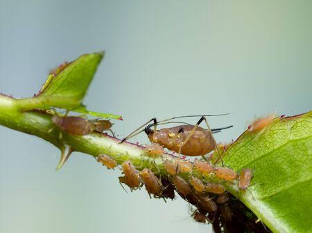 closeup of adult aphid with houndreds of young aphids sucking in rose branch