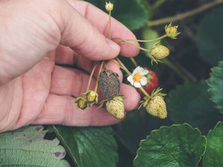 photo shows a hand holding a strawbery with Botrytis fruit rot or gray mold of strawberries - landscape format Imagens