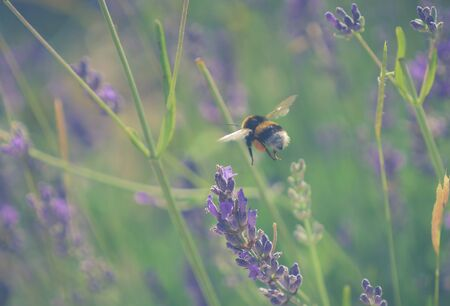 image shows a bumblebee landing on a lavander plant