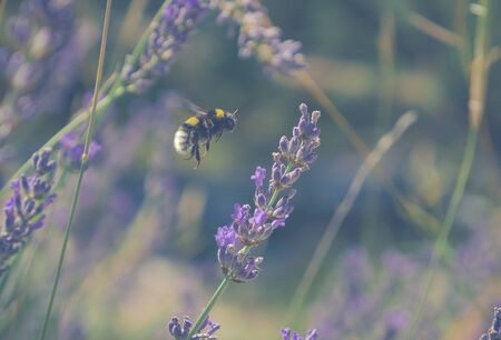 image shows bee landing on lavander plant; how to save bees or bee protection