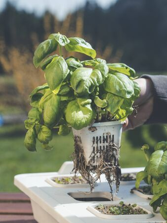 hand holding basil plant with root sytem showing how to grow organic herbs in hydroponic system - soil free using rock wool for hydro farming Imagens - 144351788