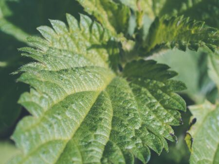 leaf of young nettle for herbal medicine. Urtica dioica - close up of weed - stining nettle growing on a courtyard Imagens