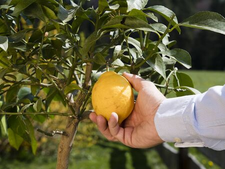 how to pick your own lemon in garden for organic farming or gardening; hand holding lemon or lime harvesting Imagens