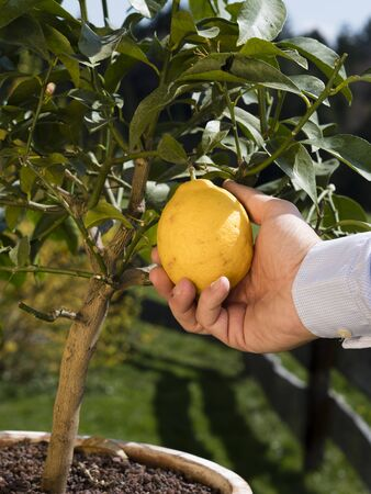 agriculture hand or farmers hand picking lemon for organic farming; background shows nice garden background Imagens