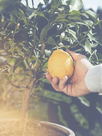 close up of gardeners hand holding a fresh limon - harvesting limon or Citrus limon - sunny background with lense flare ans sun rays Imagens