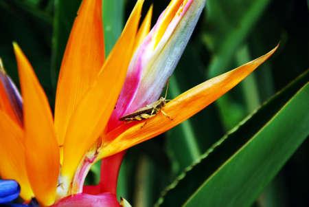 langosta: La langosta se detiene en la flor ave del para�so al aire libre