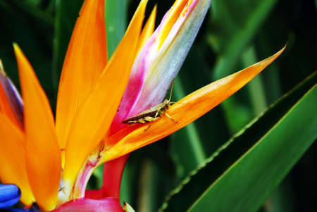birds of paradise: The locust stops on the bird of paradise flower outdoor