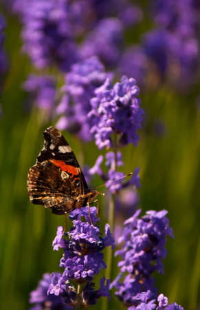 Red Admiral butterfly getting nectar from a beautiful lavender flower