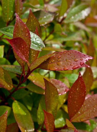 Close-up of red en green leaves after rain  Stock Photo