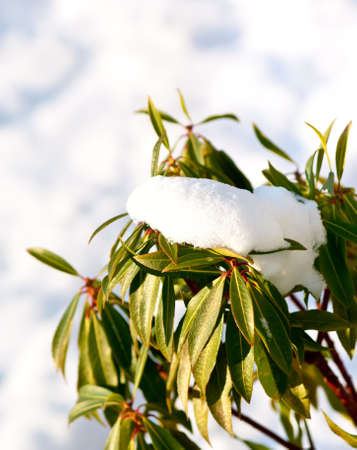 Melting snow on leaves of evergreen plant (copy space). photo
