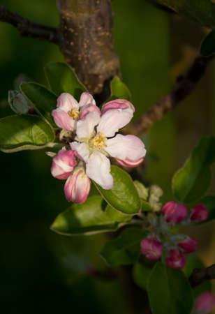 Close-up of apple tree (Malus domestica Flamenco) blossom, shallow depth of field.