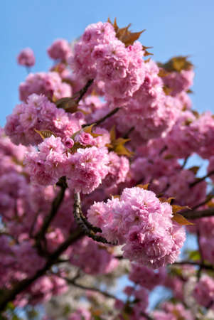 Japanese cherry tree blossom (Prunus serrulata