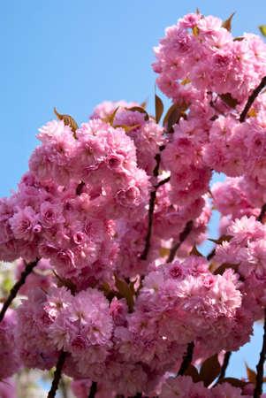 Japanese cherry tree blossom (Prunus serrulata Hisakura)