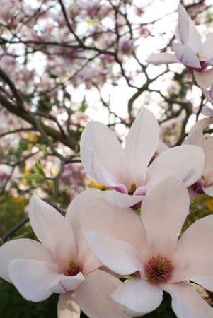 Blooming magnolia soulangeana in springtime