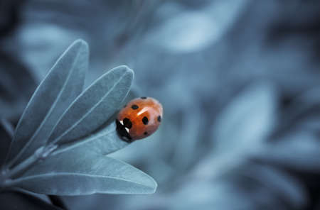 Close up of seven-spotted ladybird on leaf, blue toned image