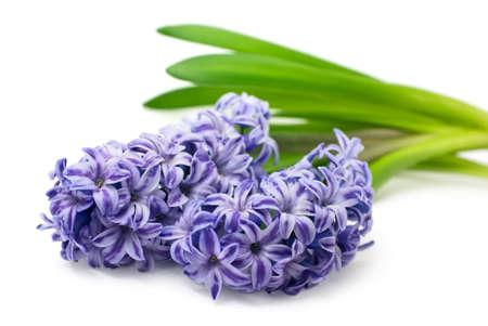Blue hyacinth isolated on white background Stock Photo - 6692590