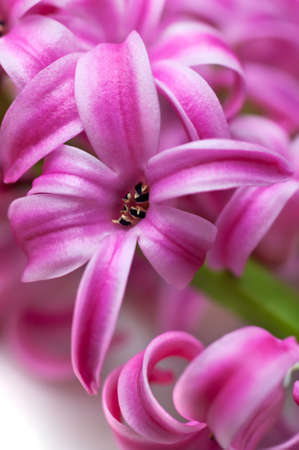 Pink hyacinth (macro, shallow depth of field)