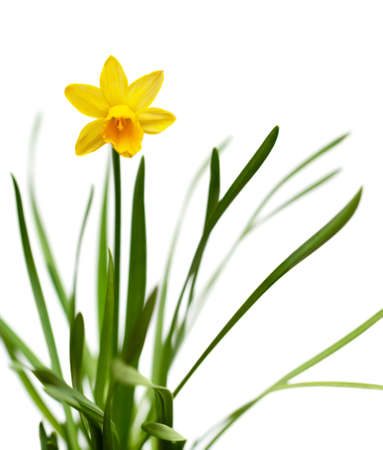 Yellow narcissus on spring glade isolated on white backround
