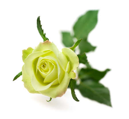One green rose isolated on white background (shallow depth of field)
