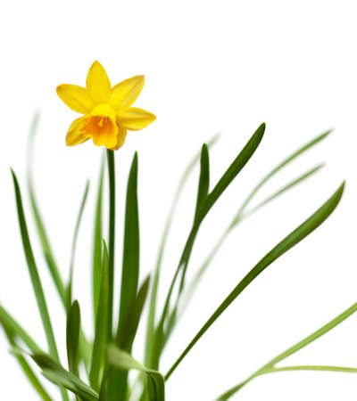 Yellow narcissus on spring glade isolated on white background