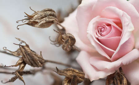 Pink rose and withered plant (shallow depth of field)