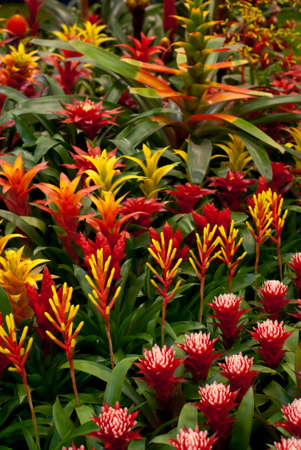 Bromelia. Flower background