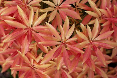 Pink leaves of Pieris japonica. Spring background Stock Photo