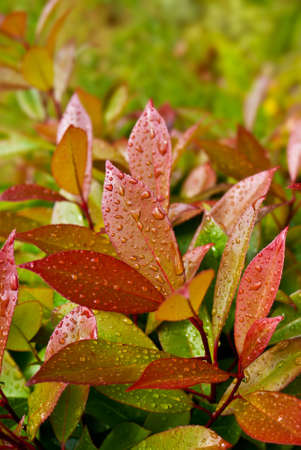 Green and red leaves of evergreen plant Photinia fraseri