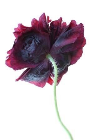 Deep purple-maroon double flowers Poppy Paeony Black (Papaver somniferum) isolated on white background Stock Photo