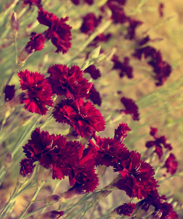 depth of field: Beautiful dark red carnation flowers (Dianthus caryophyllus, Chabaud) on field. Slightly toned, shallow depth of field. Stock Photo