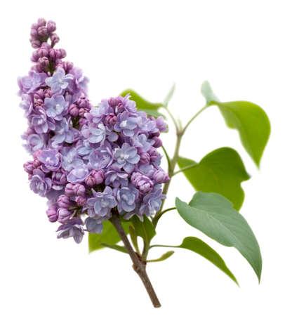 Lilas flores púrpura (Syringa vulgaris) aislados en fondo blanco Foto de archivo