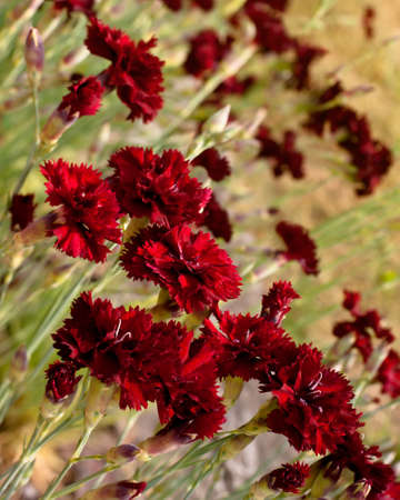 Beautiful dark red carnation flowers (Dianthus caryophyllus, Chabaud) on field. Shallow depth of field.