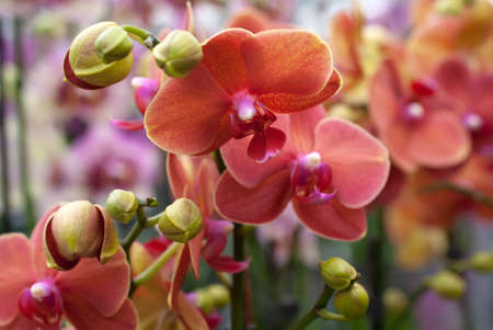 Blooming coral Phalaenopsis orchid
