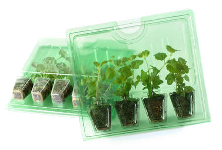 Young plants (Dichondra and Satureja) in packs for mail order
