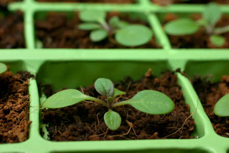 Petunia seedlings in coco in the cell tray (shallow depth of field, macro)