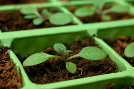 Petunia seedlings in coconut in the cell tray (shallow depth of field, macro)