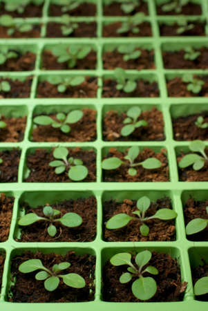 Petunia seedlings in the cell tray (selective focus)