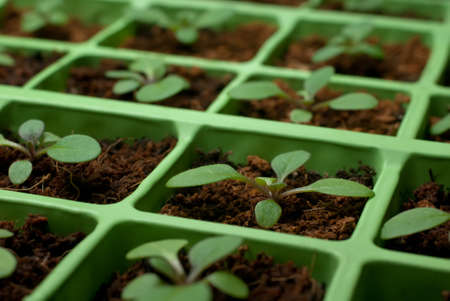coconut seedlings: Petunia seedlings in coco in the cell tray (selective focus, macro) Stock Photo
