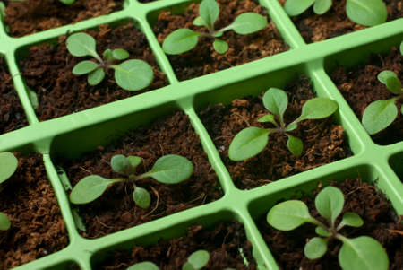 coco: Petunia seedlings in coco in the cell tray (shallow depth of field, macro)
