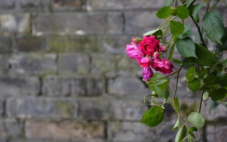 rosa: Rosa multiflora and  blurred brick wall background Stock Photo