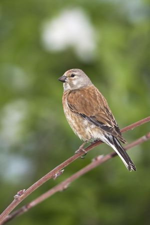 linnet male sitting on a branch