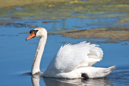 mute swan on the lake Stock Photo