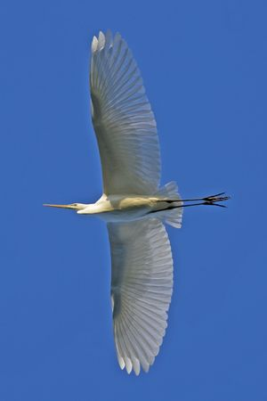 Great Egret in flight  Stock Photo