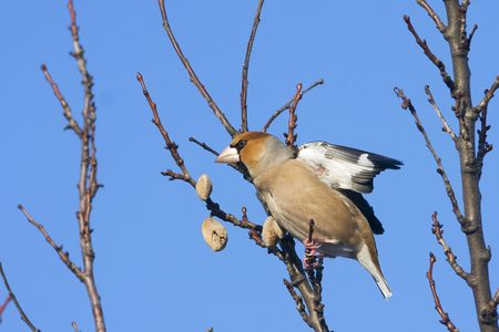 an adult of hawfinch on a branch  Coccothraustes coccothraustes