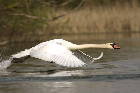 mute swan ( Cygnus olor ) in a flying scene