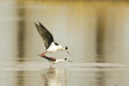 water bird - black winged stilt (Himantopus himantopus) mating in the water  Stock Photo